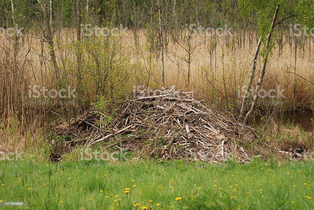 Beaver lodge royalty-free stock photo