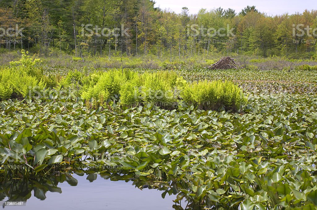 Beaver Lodge royalty-free stock photo