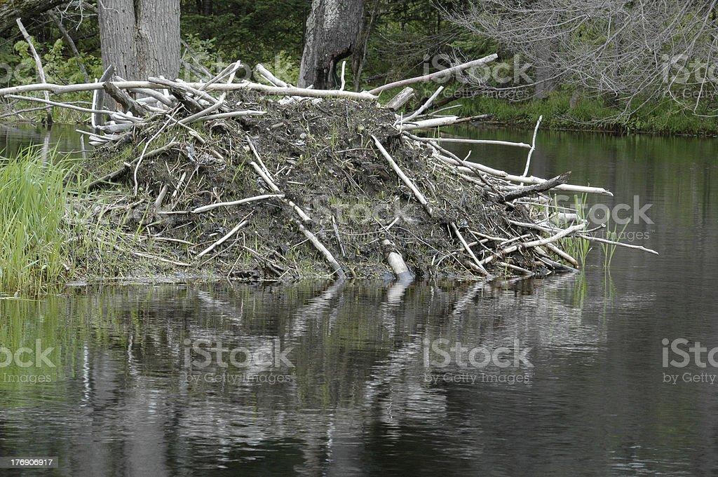 Beaver lodge. stock photo