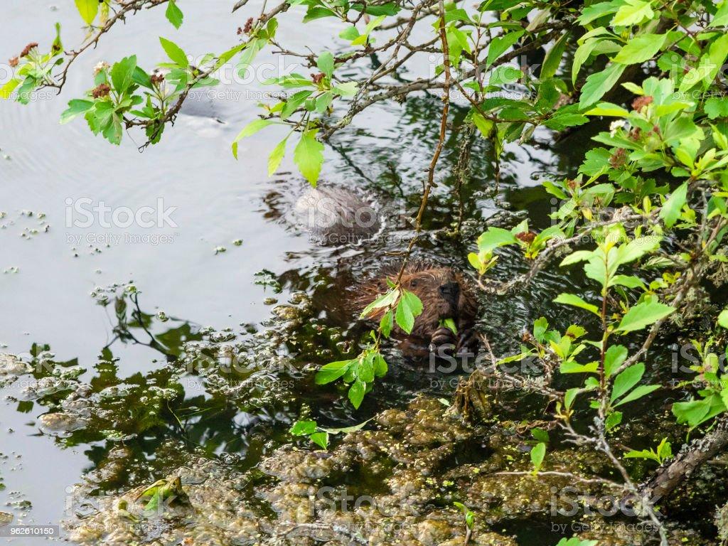 Beaver North American Castor Canadensis Eating Hidden stock photo