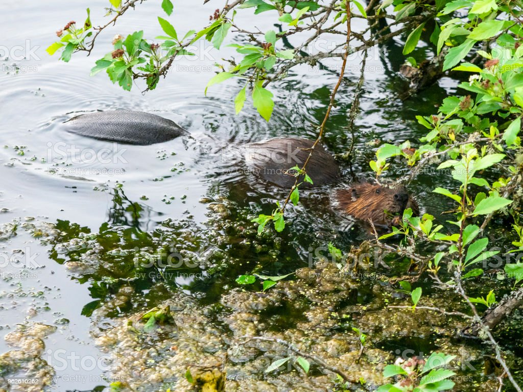 Beaver North American Castor Canadensis Eating Tail Floating stock photo