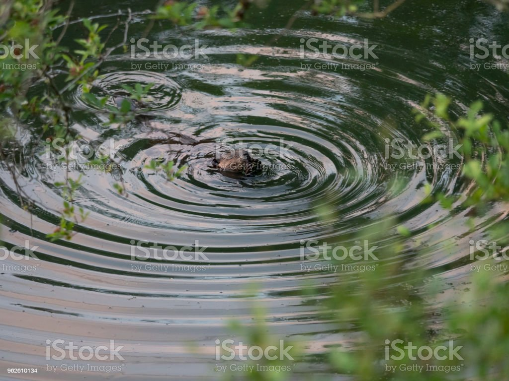 Beaver North American Castor Canadensis Eating with Water Rings stock photo