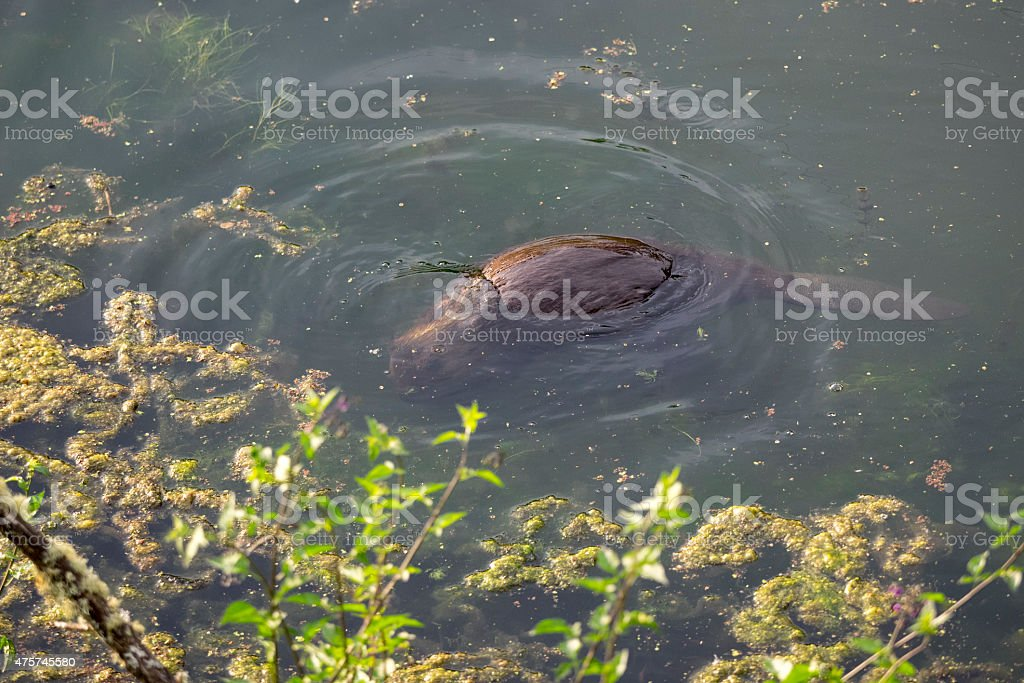Beaver North American Castor Canadensis Under Water in a pond stock photo