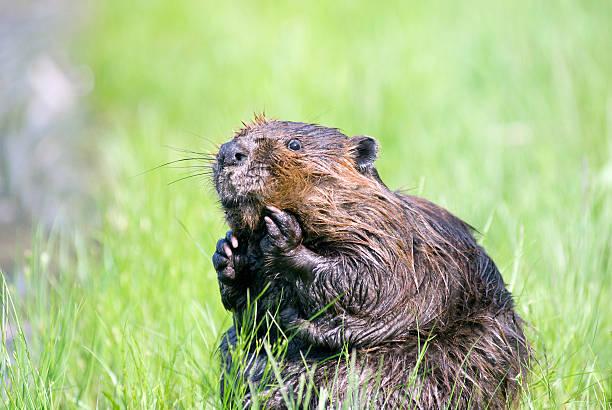 Beaver- la la! - Photo