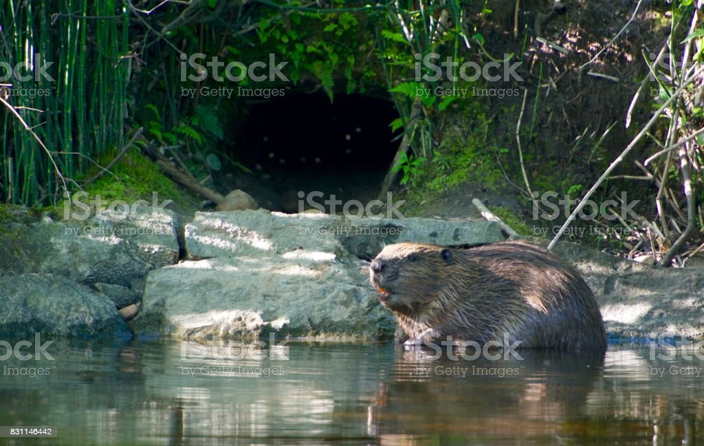 Beaver on a creek in Sweden stock photo