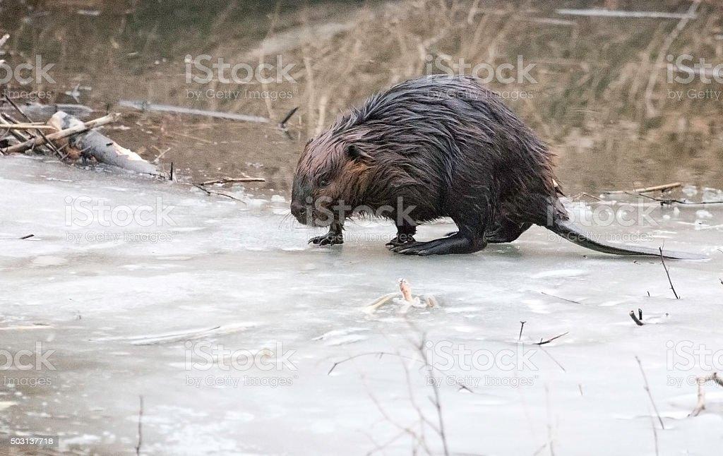 Beaver on Ice stock photo