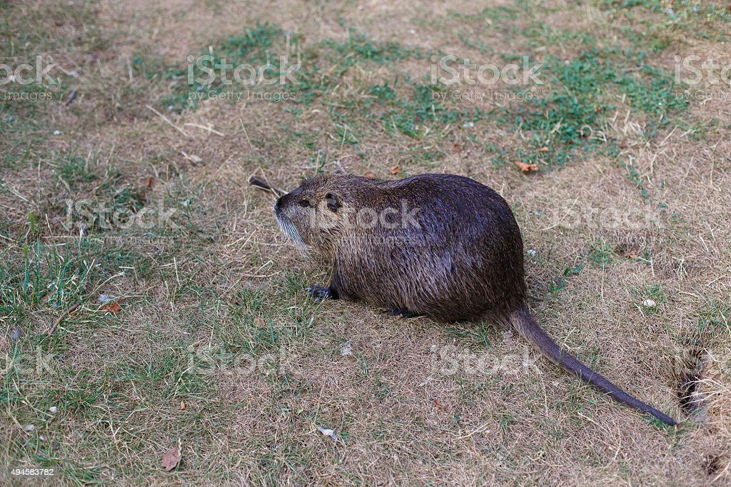 Beaver on the lawn stock photo
