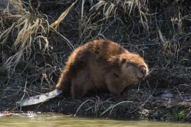 Castor du côté de la rivière - Photo