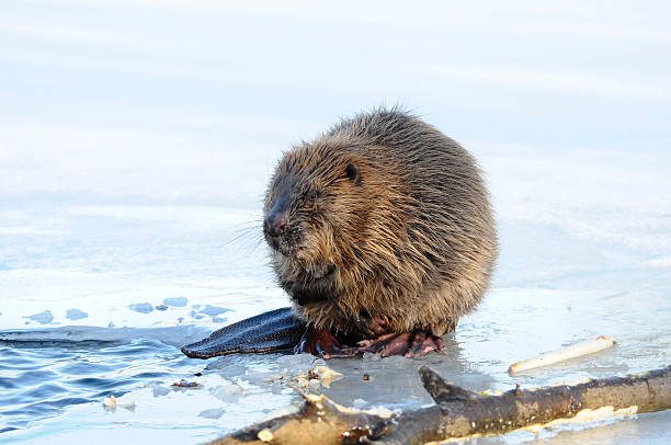 Beaver - Photo