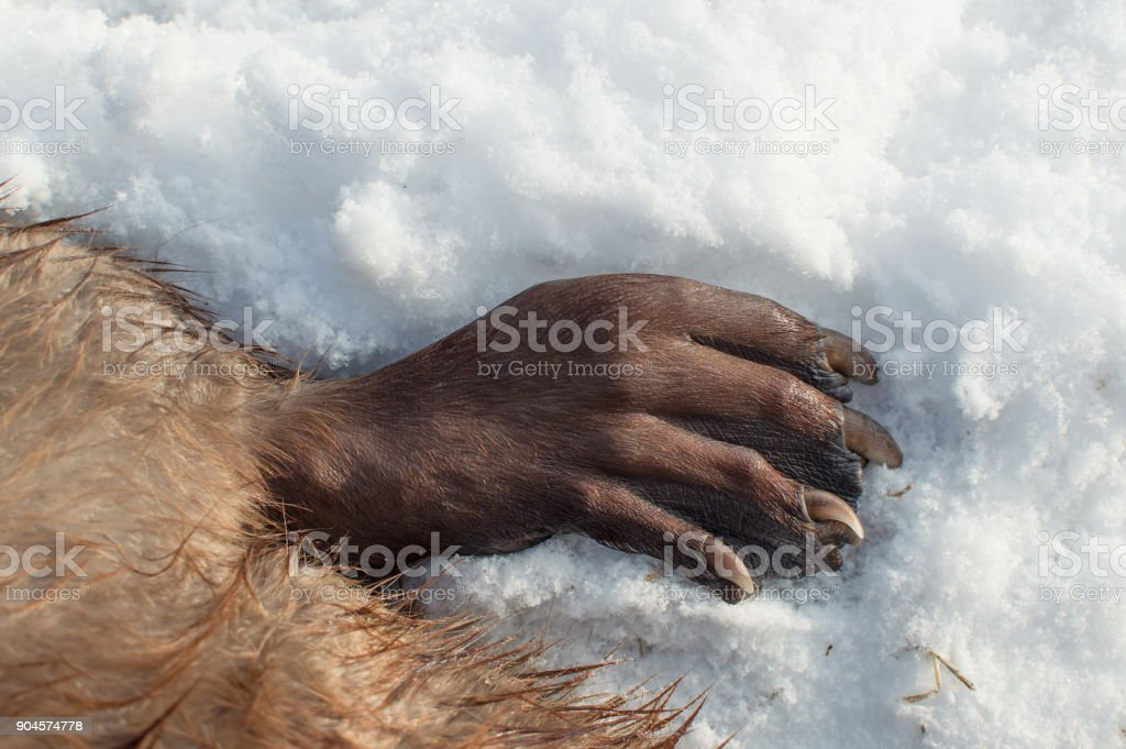 Beaver paw stock photo
