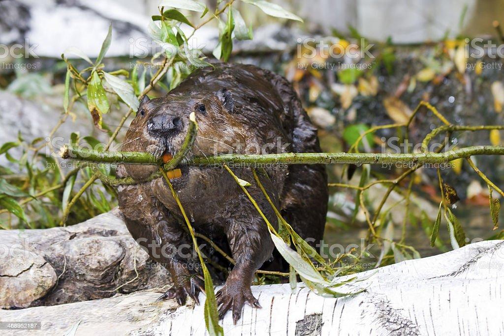 Beaver stock photo