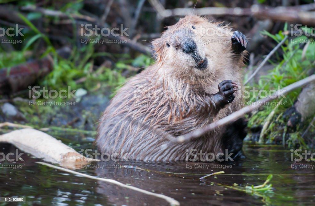 Beaver – Foto