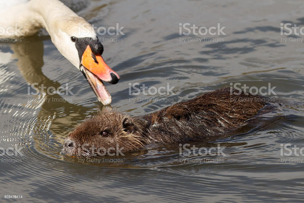 beaver rat nutria with attacking swan stock photo