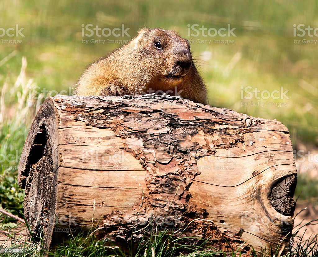 Beaver roll the log in front of him – Foto