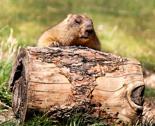 Beaver roll the log in front of him stock photo