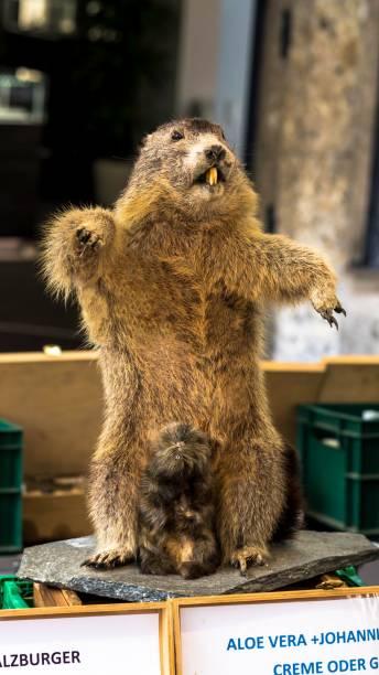 Beaver Scarecrow stock photo