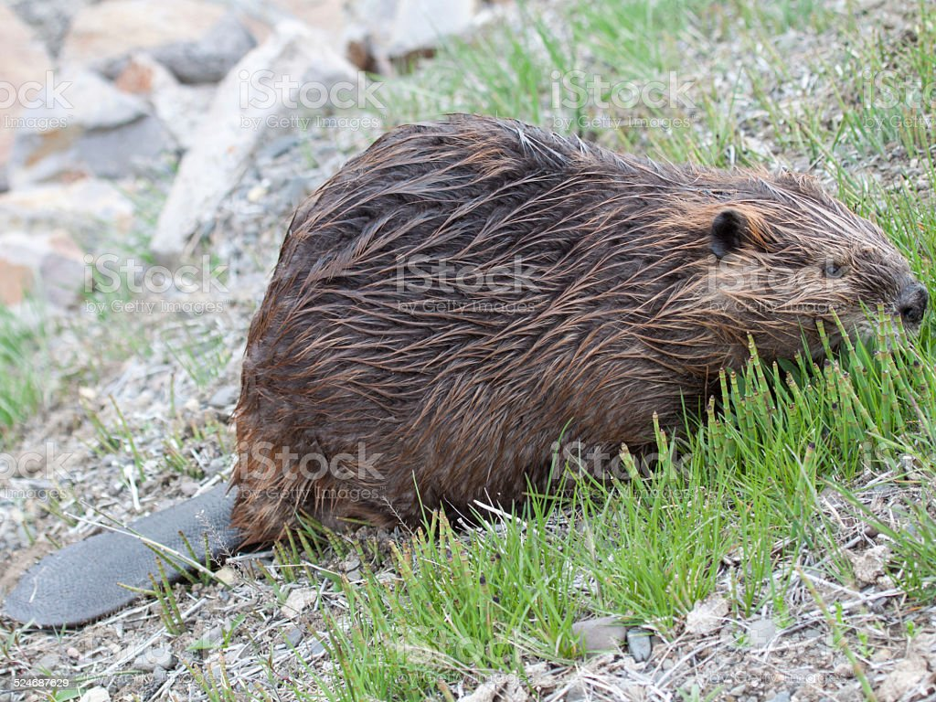 Beaver Snacks on Reeds for Lunch stock photo