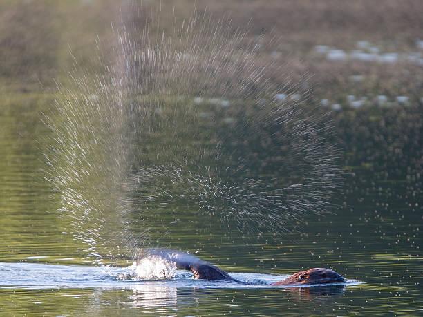 Beaver splash stock photo