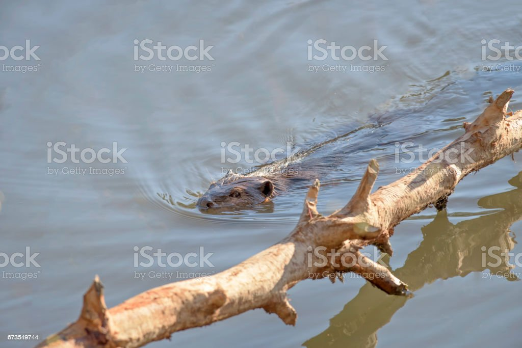 Beaver swimming near a fallen tree. royalty-free stock photo