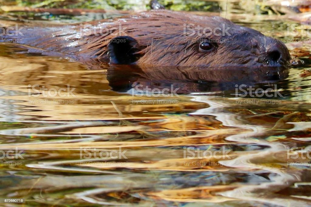 Beaver Swimming stock photo