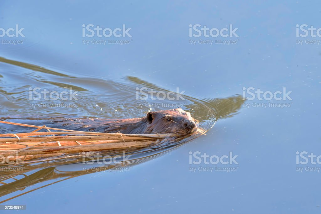 Beaver swimming with cattails in its mouth. stock photo