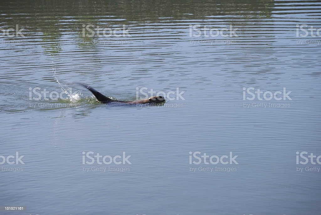 Beaver tail in motion stock photo