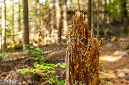 Beaver teeth marks on a fallen tree in Cnada