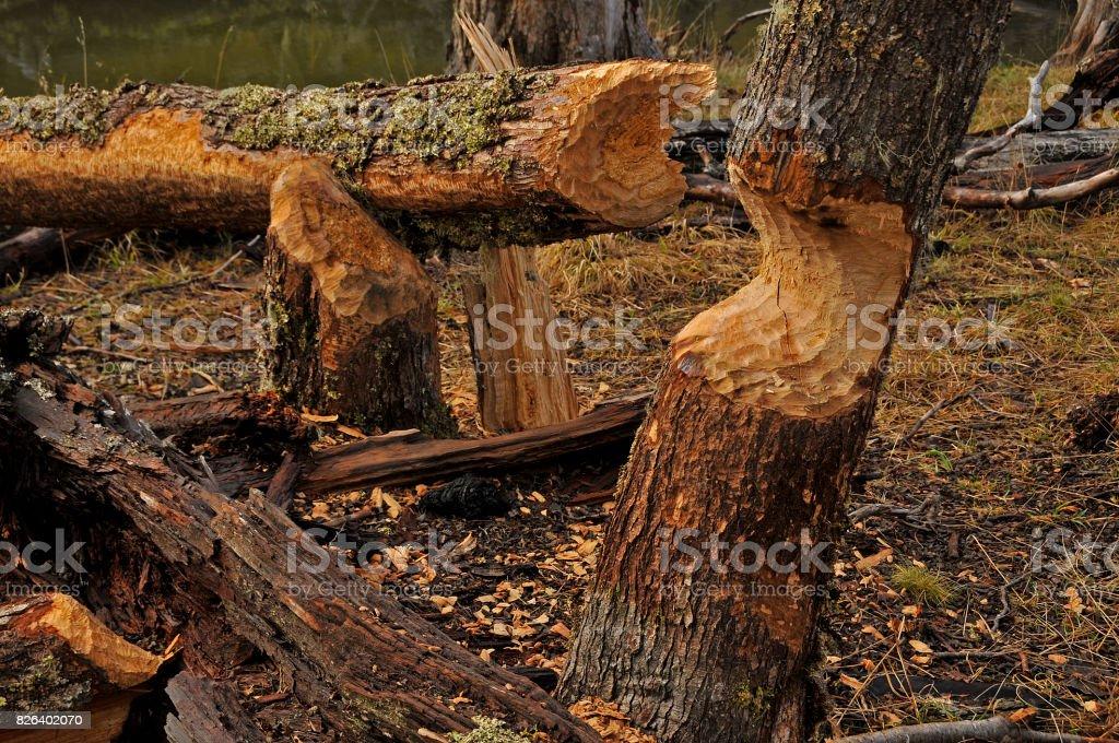 Beaver trail stock photo