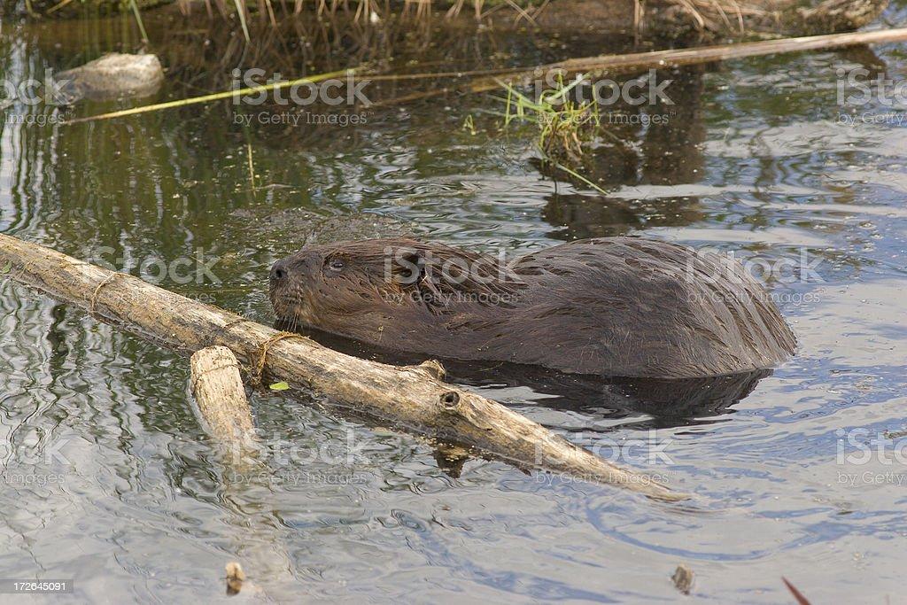 Beaver with big stick stock photo