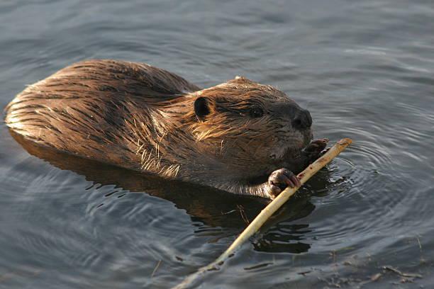 Beaver et un bâton - Photo