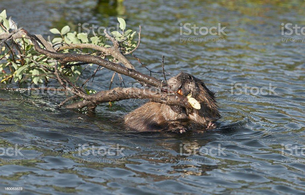 Beaver with vegetation royalty-free stock photo