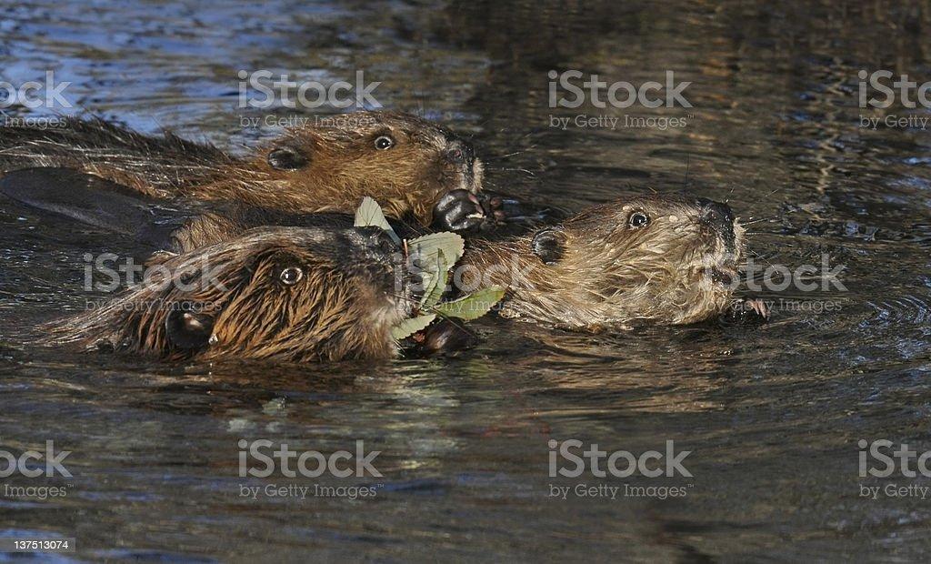 BeaverFamily stock photo