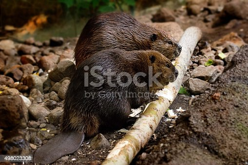 Couple of beaver eating away a tree