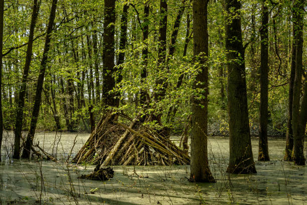 """beavers lodge am waldsee im naturpark """"mecklenburgische schweiz und kumerower see"""" reserve """"("""" mecklenburgische schweiz und see kumerow"""") - nationalpark müritz stock-fotos und bilder"""