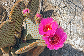 Beavertail cactus in Anza-Borrego Desert State park