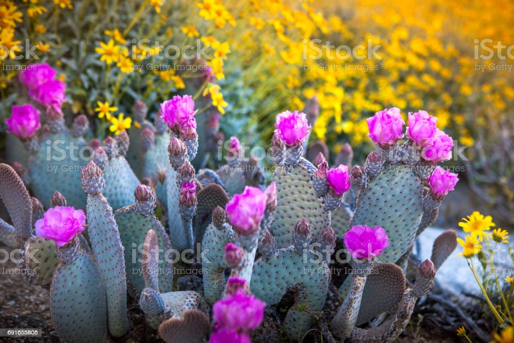 Beavertail Prickly Pear Cactus, Anza Borrego State Park stock photo