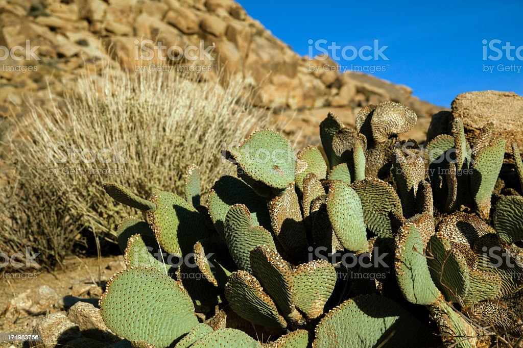 Beavertail pricklypear cactus in Joshua Tree national park royalty-free stock photo