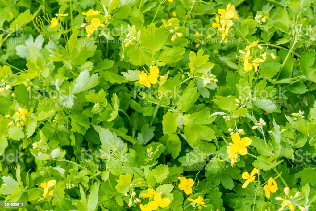 Bed blooming medicinal celandine - top view stock photo