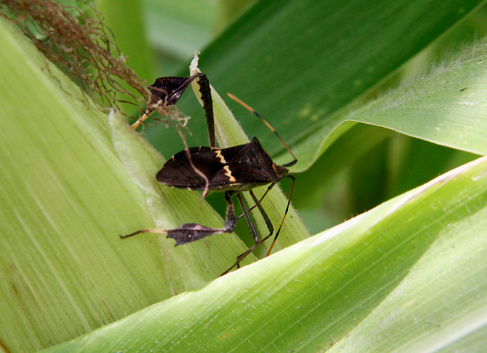 conde, bahia / brazil - october 6, 2013: corn plantation infested with insect bug (Leptoglossus zonatus). Agricultural pest, especially in cereal plantations.