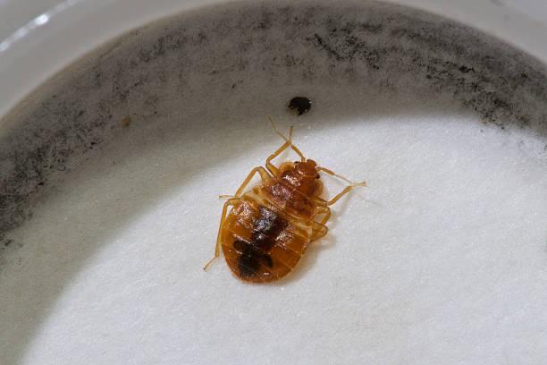 Bett-Käfer – Foto