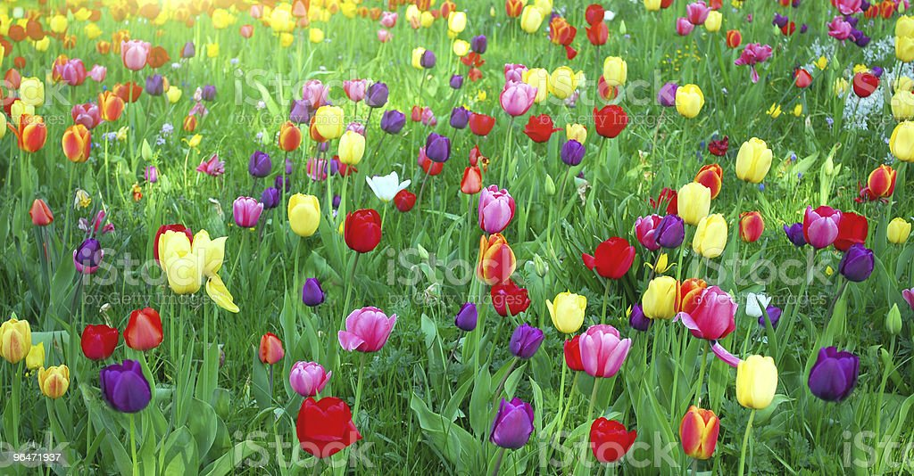 Bed of beautiful flowers, tulip royalty-free stock photo