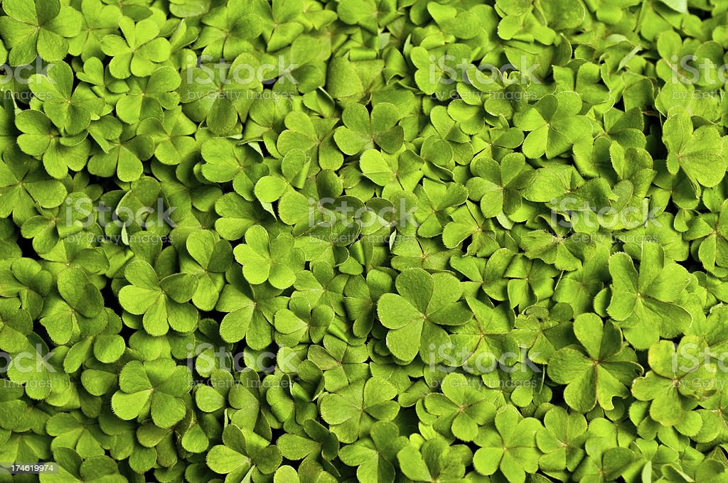 Bed of Clover stock photo