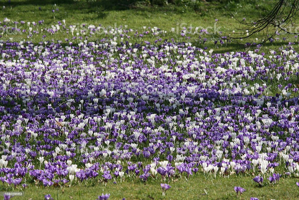 Bed of Crocus royalty-free stock photo