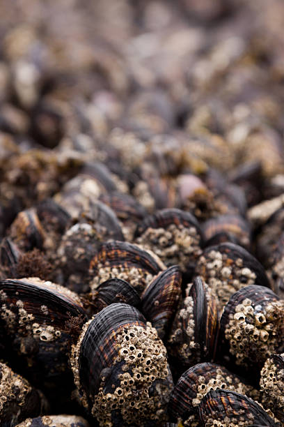 Bed of Mussels stock photo