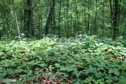 Bed of Poison Ivy in the forest.