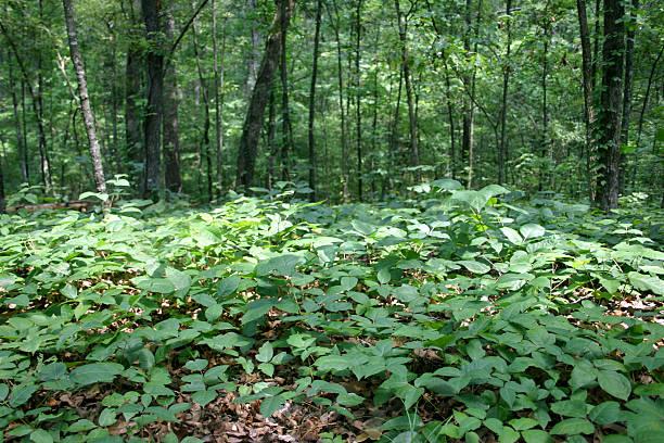 bett der giftsumach - poison ivy pflanzen stock-fotos und bilder