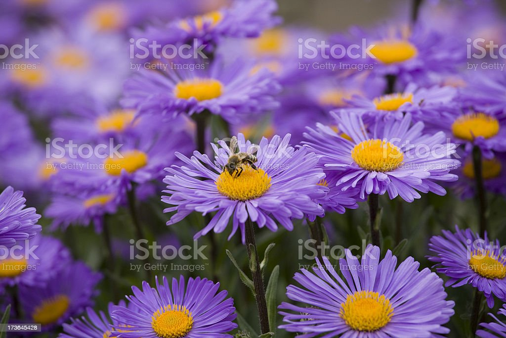 A bed of purple daisies with a bee planted on the middle one stock photo