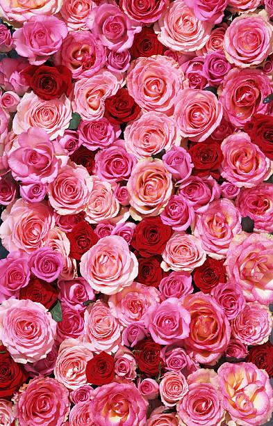 Bed of roses XXLarge stock photo