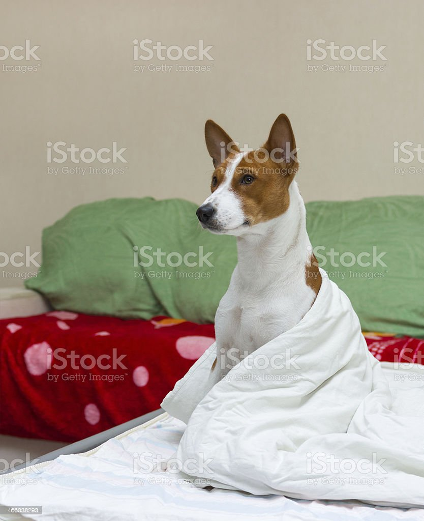 Bed scene with dog model royalty-free stock photo