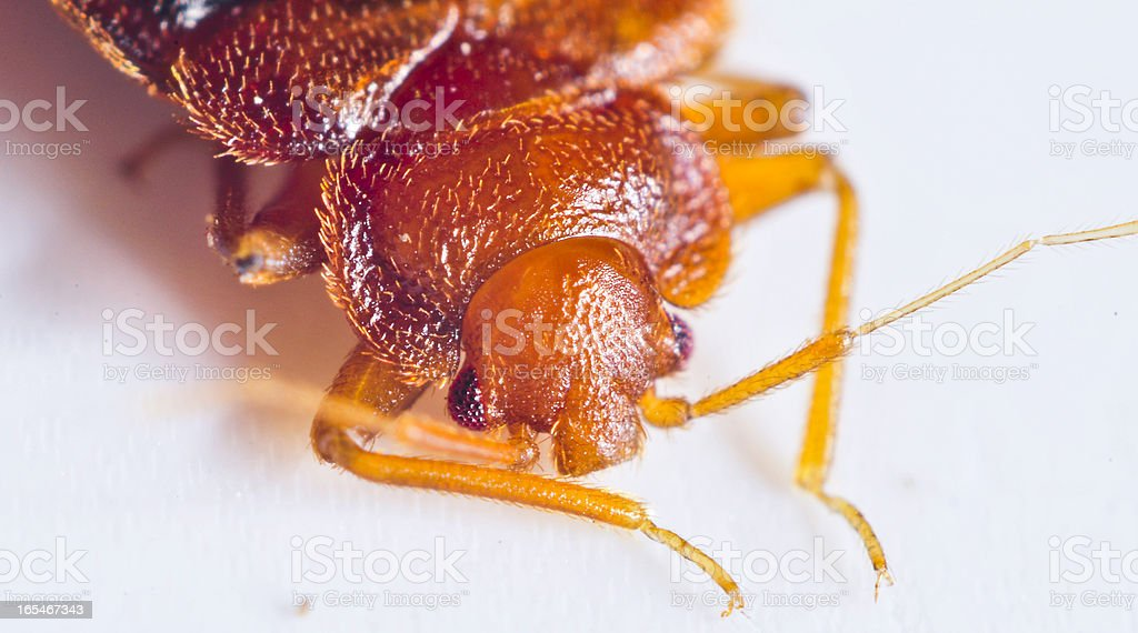 Bedbug close up stock photo